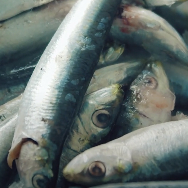 Mala riba koju triba ist naveliko by Ivan Pažanin